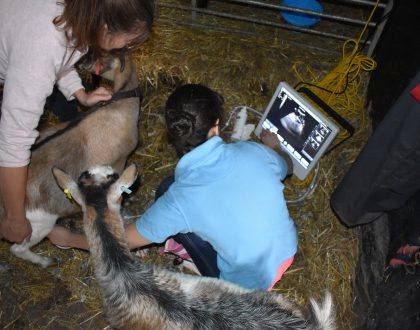 Scanning a pygmy goat on Bassetwood Farm