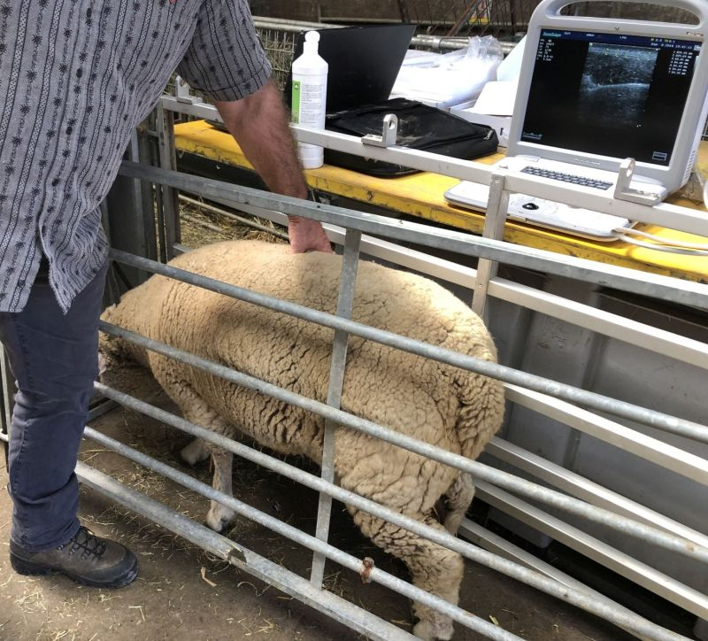 Lamb meat grading
